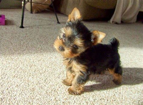 yorkie puppy cost how much does a yorkie and teacup yorkie cost