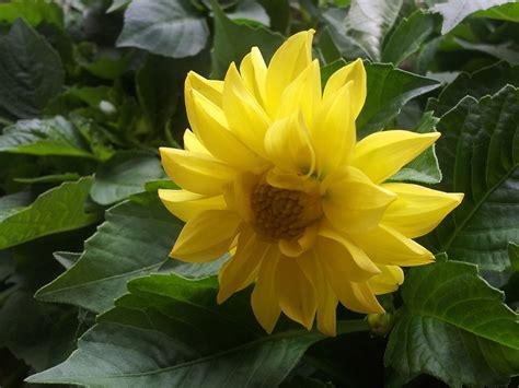 Benih Bunga Dahlia tanamsendiri grow your own gambar hari ini