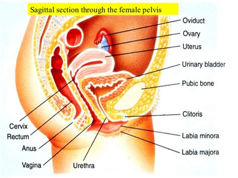 Reproductive Systems Of Male Female