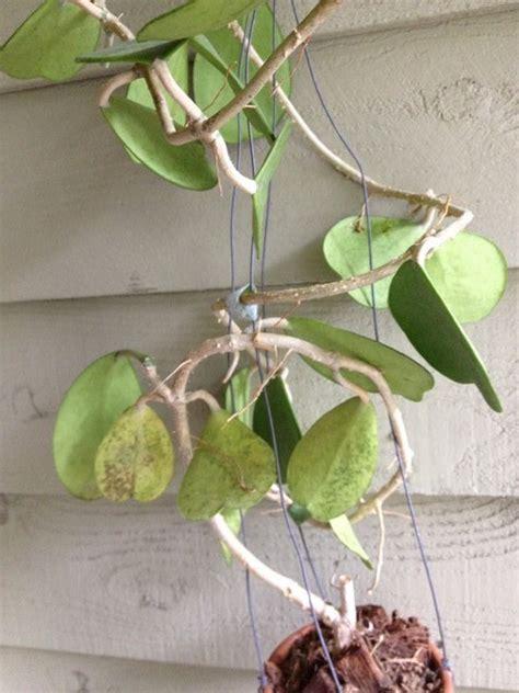 hoya kerri disease - Hoya Plant Diseases