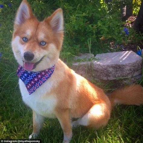 fox like the pomsky is a pomeranian cross husky who looks like a fox daily mail