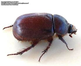 Garden Pest Identifier - insect and spider identification closed brown beetle 1 by xenomorf