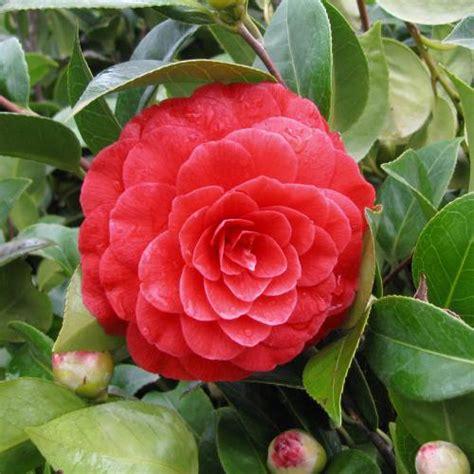 Black Camellia japanese camellia black lace buy japanese camellia
