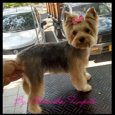 yorkie hair or fur the 25 best yorkie haircuts ideas on yorkie cuts york poo and