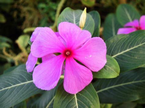 Pupuk Untuk Bunga Tapak Dara 50 tanaman hias yang ada di berbagai negara satu jam