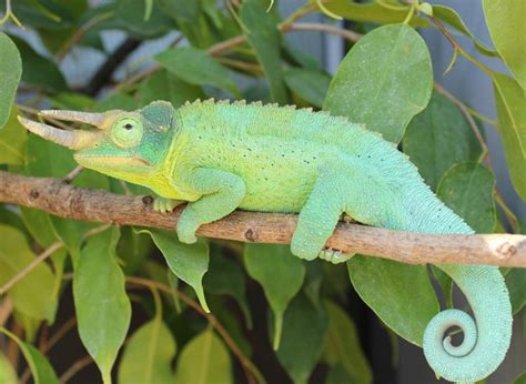 jackson s chameleon facts habitat diet life cycle baby pictures