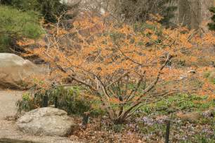 witch hazel tree for flowers in february