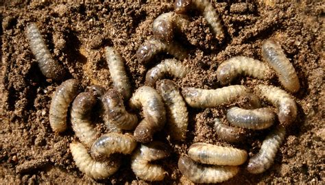 inchworm life cycle sciencing