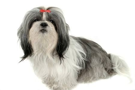 shih tzu guide shih tzu breed shih tzu information information on shih tzus