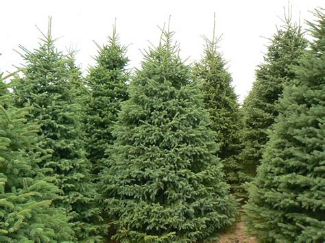 christmas trees at evergreen farm