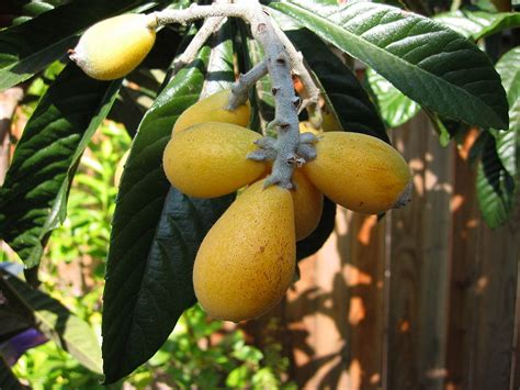 fruit trees in spain file eriobotrya japonica2 jpg wikimedia commons