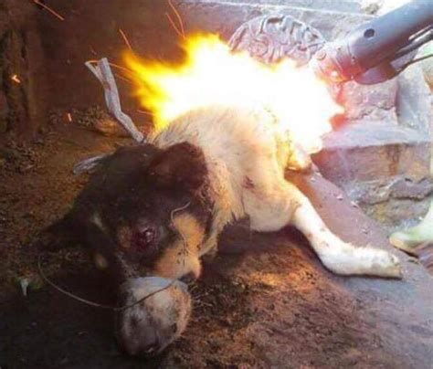 puppy alive stopyulin2015 10 000 dogs tortured as part of annual yulin festival the