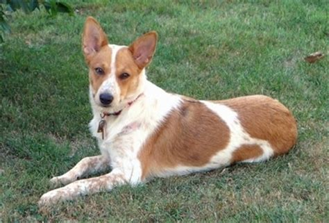 cattle corgi mix corgi cattle breed information and pictures