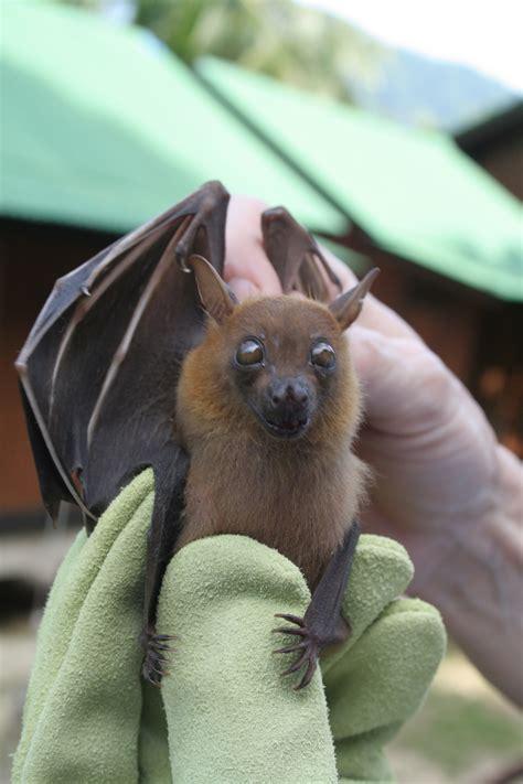 fruit bats megabat