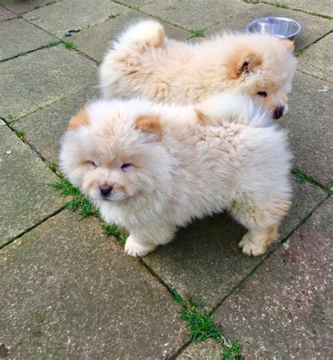 chow chow puppies for sale in pa chow chow puppies for sale airport center road hanover township pa 207312