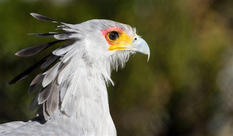 Bluish Grey by Secretary Bird Facts Diet Amp Habitat Information