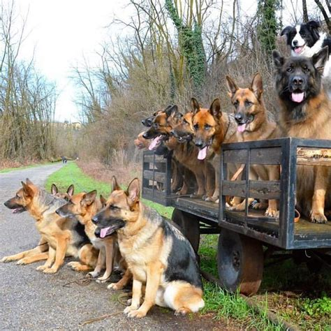 are german shepherds family dogs 1000 images about german shepherd dogs on beautiful dogs german shepherd