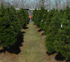 christmas tree farms with real estate in monroe or carbon county pa miltons tree farm