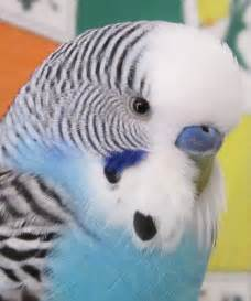 parakeet colors budgies are awesome what s your favorite color for a budgie