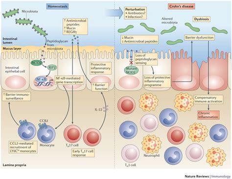 pattern recognition receptor inflammatory bowel disease inflammatory bowel disease and microbiome thryve medium
