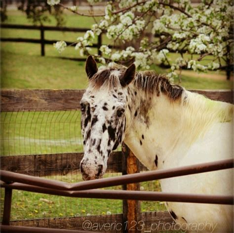 37 best images about paint and appaloosa horses on beautiful horses for sale and