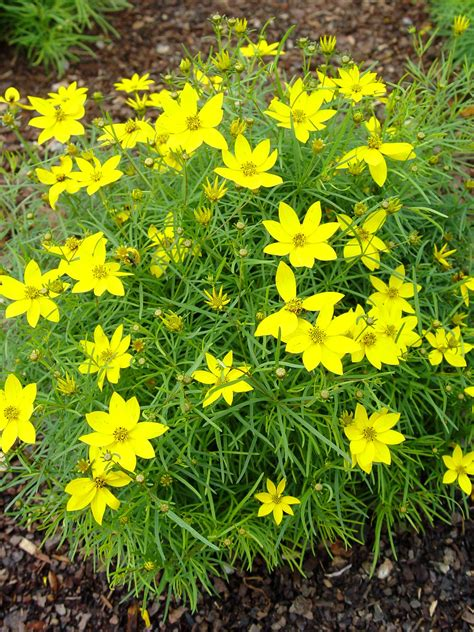 coreopsis zagreb garden housecalls