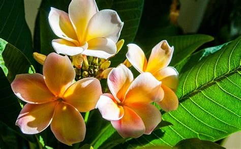 plumeria care care for flowering plumeria frangipani indoors part 4 5