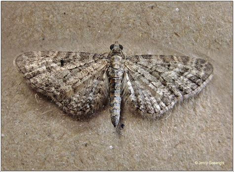 grey pugs moths grey pug eupithecia subfuscata