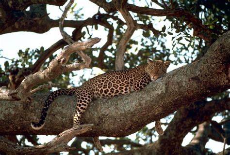 leopard profile poaching facts