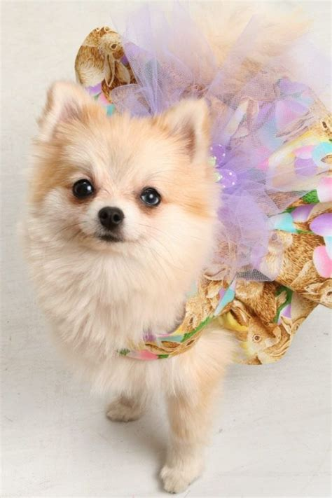 pomeranian tutu top 775 ideas about puppies and dogs on puppys yorkie and spaniels