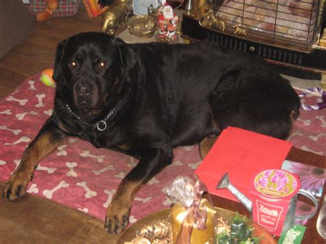 8 year rottweiler well behaved 8 year rottweiler for rehoming huddersfield west