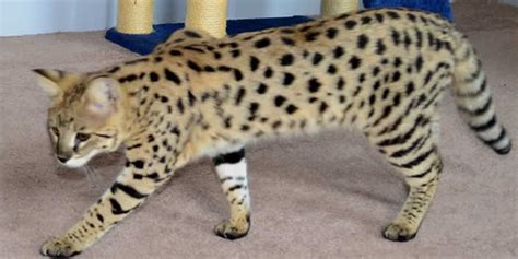 biggest house cat you can buy amanukatz savannah kittens and cats ohio breeder 419 533 3719