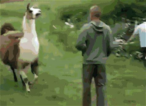 running llama animals gif find  gifer