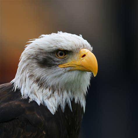 Bald Eagles Head