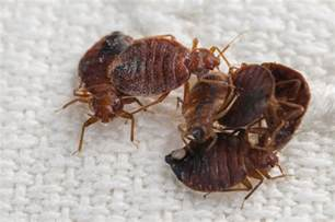Where Do Bed Bugs Live by What Do Bed Bugs Look Like And Where Do They Live