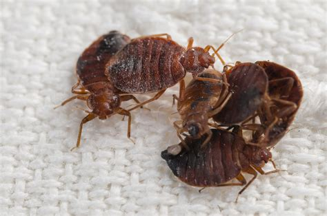 where do bed bugs live what do bed bugs look like and where do they live
