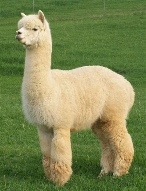 Gorgeous Alpaca From by Peaceful Alpacas Is An Alpaca Farm Located In Fancy