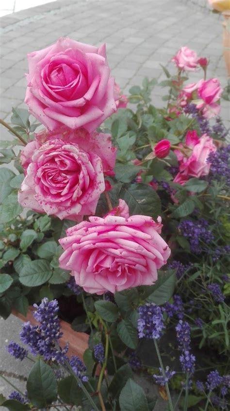 imagenes de flores juanitas m 225 s de 1000 ideas sobre flores raras en pinterest