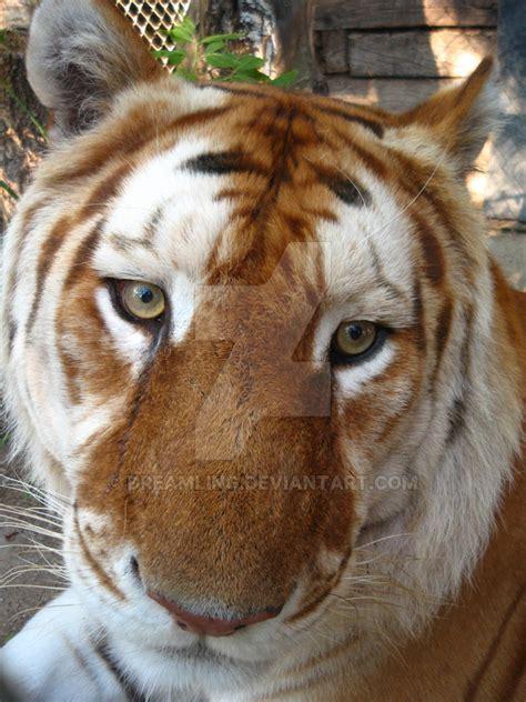 cinnamon tiger assan cinnamon tiger by dreamling on deviantart