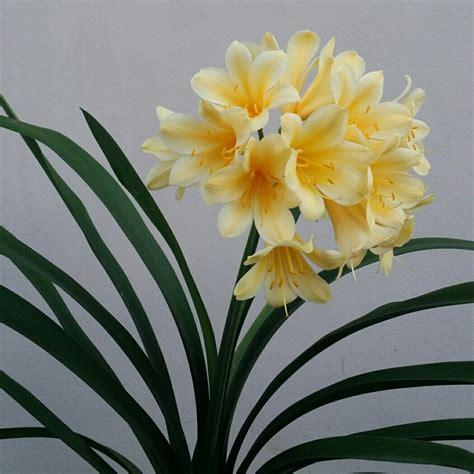 clivia miniata yellow cream cm mm