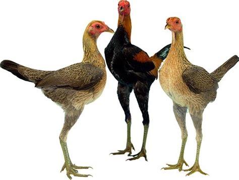Ayam Hias Pekin ayam modern bantam si jangkung dari inggris om kicau