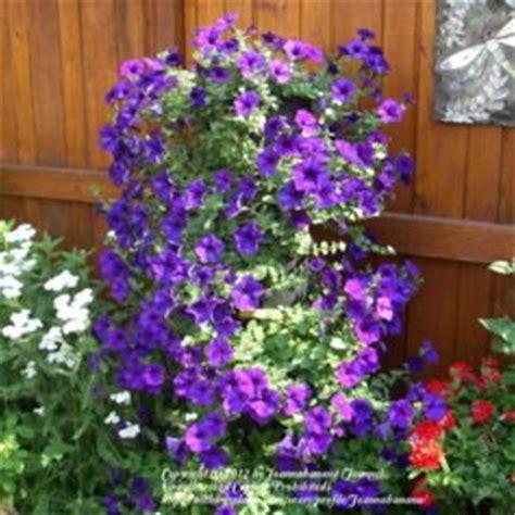 multiflora spreading trailing petunia petunia wave 174 blue