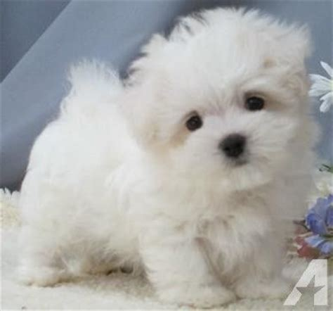 dogs for sale cumbria toy for dog toy for dog teacup toy maltipoo puppies for sale on long island new