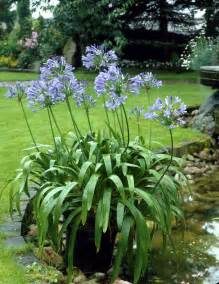 agapanthus africanus species plantinfo everything and