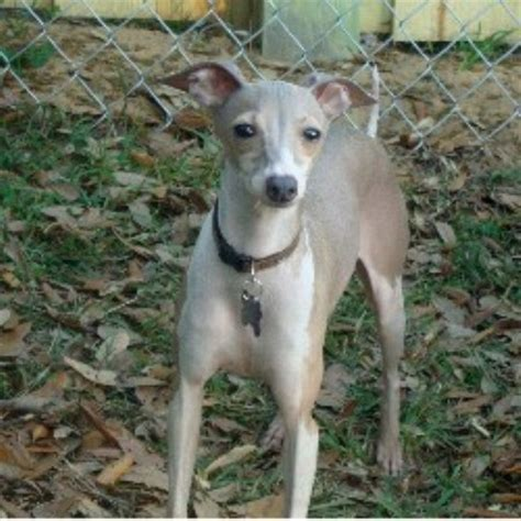 italian greyhound puppies florida italian greyhound breeder in babson park florida listing id 17961