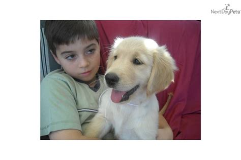 half lab half golden retriever for sale creme golden retriever puppies in florida breeds picture