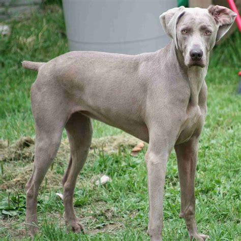 s breeds breeds weimaraner