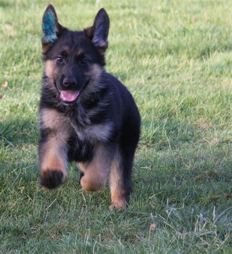 find german shepherd puppies german shepherd puppies for sale find german shepherd puppies breeds picture