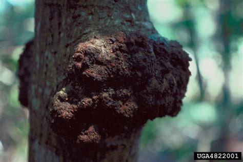 eucalyptus canker cryphonectria cubensis on grand