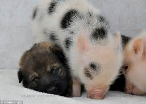 puppy and piglet will you be my friend meet the mini piglets and puppies who are happy to muck in